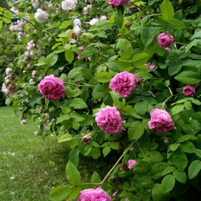 Old roses in Falsterbo
