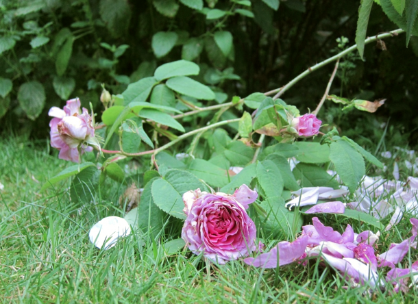The old rose Duchesse de Rohan in the Falsterbo garden