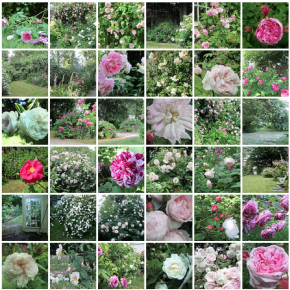 A dream about a rose garden