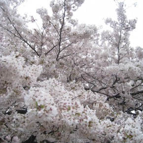 Cherry blossom viewing in Tokyo
