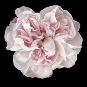 Photographs of old fashioned roses offering cross-pollinating synesthesia